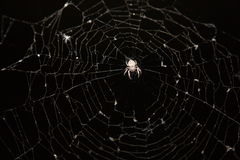Spider. In cobweb with catch fly Stock Photography