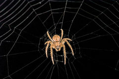Spider. Hunting in the darkness Stock Photos