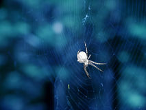 Spider. Black and White Spider on Blue Background Royalty Free Stock Photo