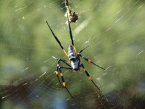 Spider. Stretching back legs Royalty Free Stock Images