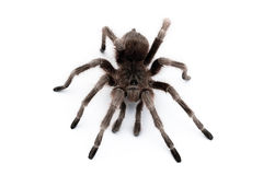 Spider. On white table. macro view Royalty Free Stock Images