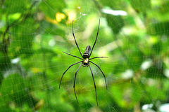 Spider. Big spider on spiders web with green background Stock Photos