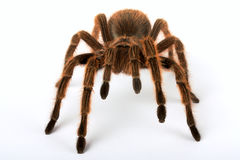 Spider. Hairy spider on white background Royalty Free Stock Photos