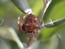 Spider abdomen macro Stock Photos