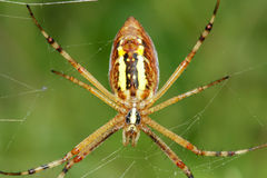 Spider. The abdominal close-up of a yellow spider Stock Image