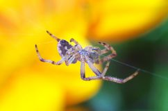 Spider above Flower. Macro photo of spider above yellow flower Royalty Free Stock Photos