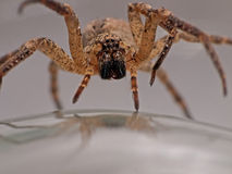 Spider advancing - arachnophobia nightmare. He's coming towards you! Ugly spider macro Stock Photos