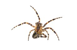 Spider aggression Stock Photos