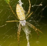 The spider ambushes. On a web Stock Images