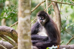 Spider Ape sitting on a tree in Jungle Royalty Free Stock Image