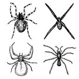 Spider or arachnid species, most dangerous insects in the world, old vintage for halloween or phobia design. hand drawn Stock Photography