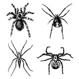 Spider or arachnid species, most dangerous insects in the world, old vintage for halloween or phobia design. hand drawn Stock Photo