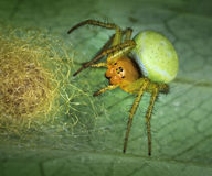 Spider Arachnita protecting its nest Royalty Free Stock Images