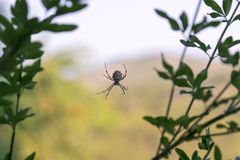 Spider araneae species on a web. Beautiful spider araneae species on a web Stock Photography