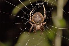 Spider, Araneidae, Belianchip, Tripura , India. Spider, Araneidae, Belianchip Tripura state of India Royalty Free Stock Image