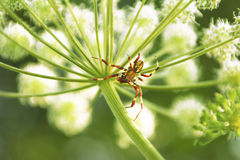 Spider(Araneidae). Spider(Araneidae) at the plant in summer weather with the victim in the mouth stock photography