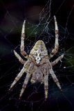 Spider  Araneus Angulatus Stock Photography