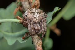 Spider - Araneus Angulatus. Horned cross spider - Araneus Angulatus - Poland - macro Royalty Free Stock Photo