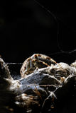Spider(Araneus diadematus) Stock Photography