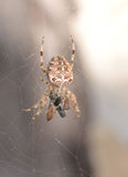 A spider: Araneus diadematus. A spider (Araneus diadematus) going towards its prey Stock Image