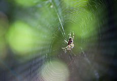 Spider (Araneus diadematus stellatus) Royalty Free Stock Photo