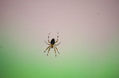 Spider, Araneus diadematus Royalty Free Stock Images