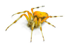 Spider Araneus marmoreus Royalty Free Stock Images