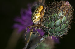 Spider Araneus marmoreus - close up. Beautiful macrophotography with spider on thistle Stock Photos