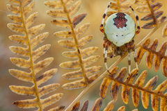 Spider Araneus marmoreus on old fern. Spider Araneus marmoreus on old dry fern Stock Image