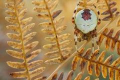 Spider Araneus marmoreus on old fern Stock Image