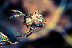 Spider Araneus. Near the day Royalty Free Stock Images