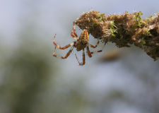 Spider (Araneus). Royalty Free Stock Photo