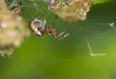 Spider (Araneus). Stock Photo