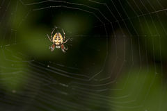 Spider (Araneus). Royalty Free Stock Image