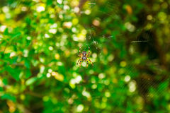Spider Araneus and web on blackberry bush in mountain of Montenegro. Spider Araneus and web on blackberry bush in mountain, Montenegro Royalty Free Stock Photography