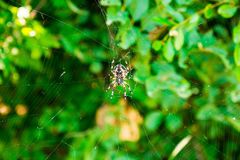 Spider Araneus and web on blackberry bush in mountain of Montenegro. Spider Araneus and web on blackberry bush in mountain, Montenegro Stock Image