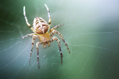 Spider Araneus. Araneus Spider on web for your project Stock Image