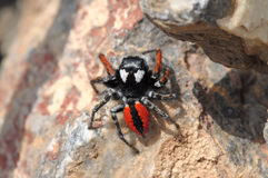 Spider in the Ararat valley. Armenia Royalty Free Stock Image