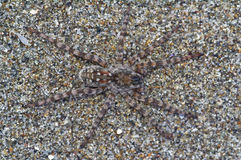 Spider Arctosa cinerea, camouflaged among the sand Royalty Free Stock Images