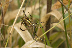 Spider argiopa. Spider waits mining in centre of the networks Stock Images