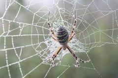 Spider (Argiopae) Stock Photos