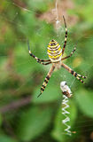 Spider - Argiope aurantia Royalty Free Stock Photography