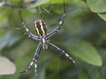 Spider Argiope bruenniсhi. Argiope spider bruenniсhi - one of the largest and most spectacular spiders Stock Photo
