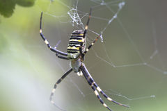 Spider Argiope bruenniсhi. Argiope  bruenniсhi - one of the largest and most spectacular spiders Royalty Free Stock Photo