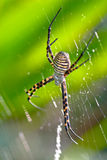 Spider, Argiope bruennichi Stock Photography