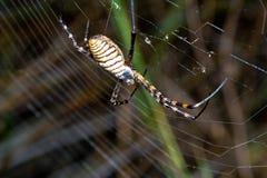 Spider, Argiope bruennichi Stock Images