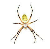 Spider (Argiope bruennichi) isolated on  white Royalty Free Stock Photo