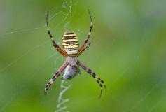 Spider argiope bruennichi macro Stock Photo