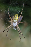 Spider (Argiope bruennichi). Spider with a small butterfly newly captured Royalty Free Stock Photo