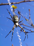 Spider (Argiope bruennichi) on spiderweb. Argiope bruennichi spider hanging in the middle of spiderweb against blue sky background Royalty Free Stock Photography